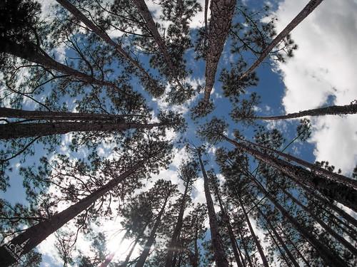 tree trees below circle pine tall wideangle pawleysisland southcarolina unitedstates us olympus omd em1 micro43 microfourthirds olympus9mmfisheye fisheye yextsouthcarolina