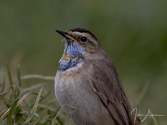 HolderBluethroat portrait 24/03/17