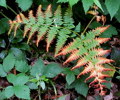 shrub(0.0), flower(0.0), leaf(1.0), plant(1.0), flora(1.0), ostrich fern(1.0), ferns and horsetails(1.0),