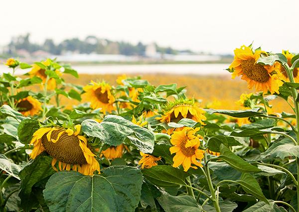 israel, sunflower field, ronen frieman, רונן פריימן, שדה חמניות, פרחי חמניות, פרחים