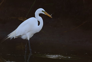 Great Egret with a Small Success