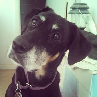 Lola says Good Morning IG #instadog #dogstagram #dobermanmix #seniordog #love #rescued #adoptdontshop