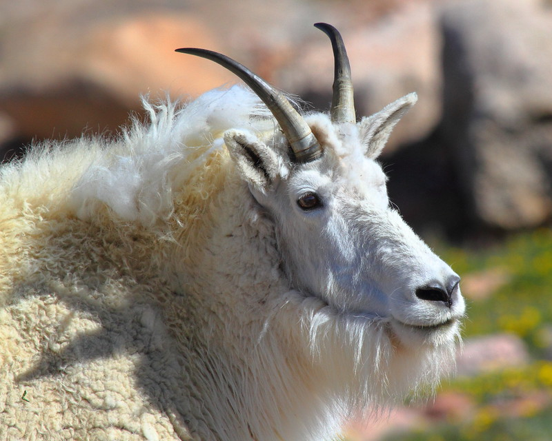 IMG_4562 Mountain Goat on Mount Evans