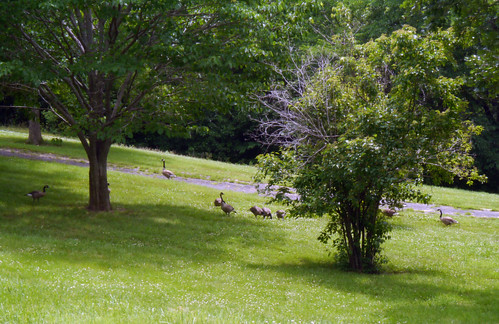 2014-06-21 - Geese - 0004 [flickr]