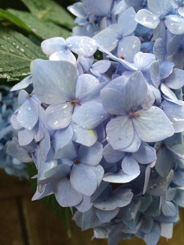 雨の日の紫陽花 2014/6