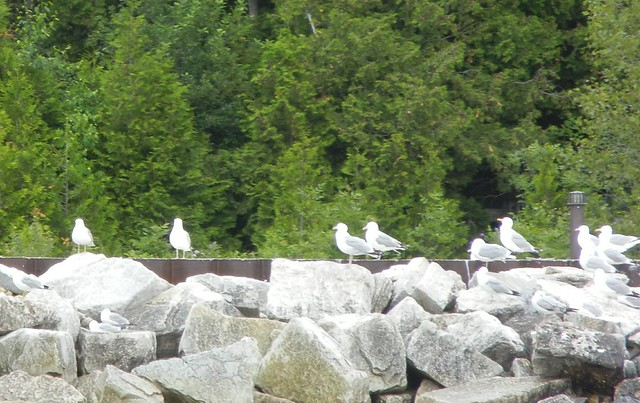 Herring gulls, Door County, Wisconsin