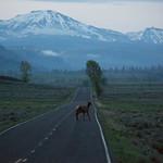 Elk crossing, Lamar Valley