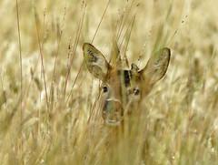In Hiding, Roe Deer, Severn Valley, Gloucestershire
