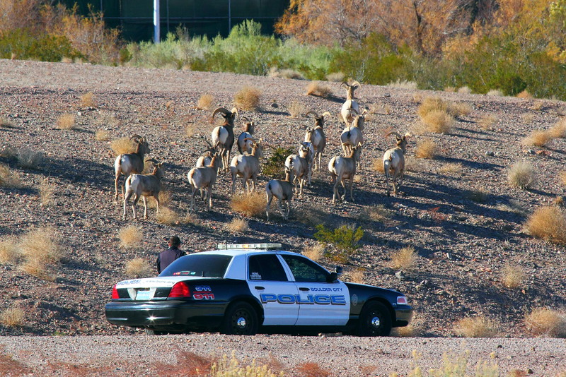 "IMG_1316 Police ""Herding"" Bighorn Sheep away from US-93"