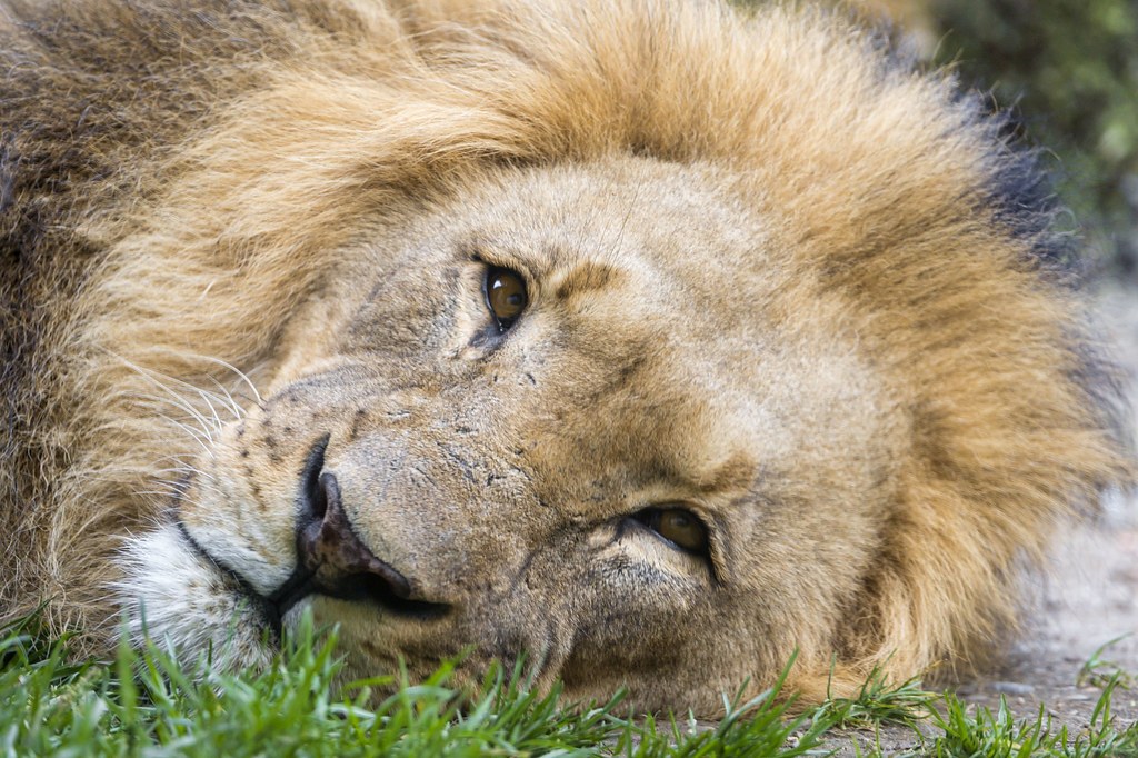 Tired lion dad
