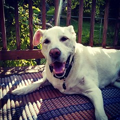 Good Morning from the Happy Old Man! #dogstagram #happydog #seniordog #ilovemyseniordog #HappyOldMan #ilovebigmutts #love #smiling #mybaby