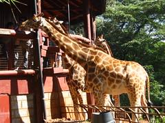 Feed Giraffes at the Giraffe Center - Things to do in Nairobi