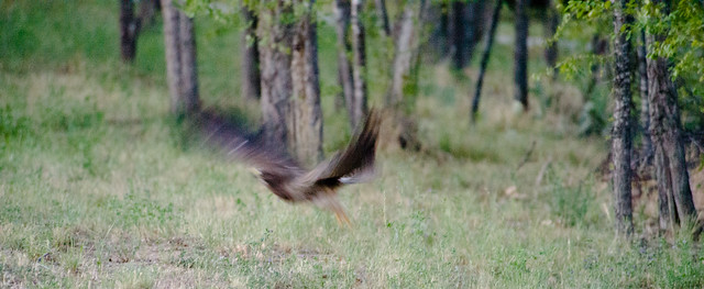 swainsons_hawk_flying_blurred-20140719-100