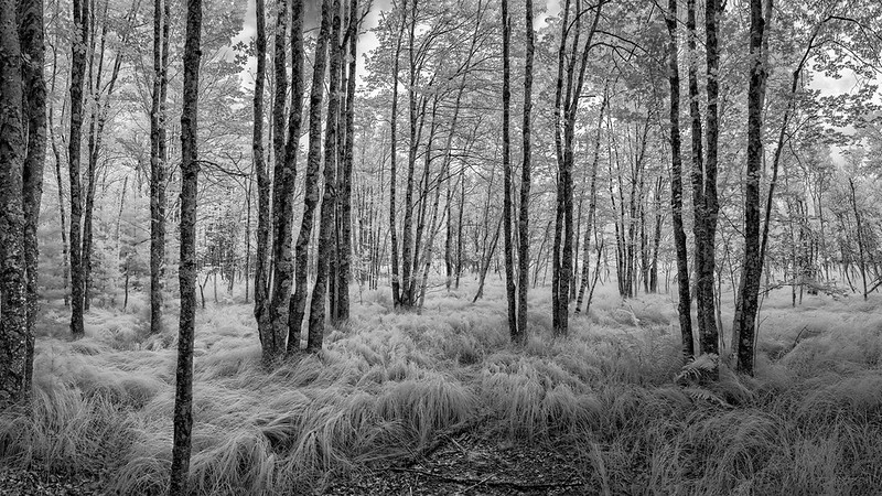 Paper Birch and sedge grass forest
