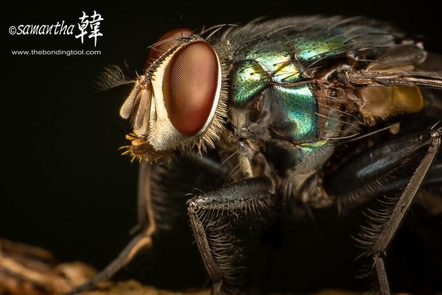 Macro - Blow Fly