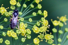 small bee on dill
