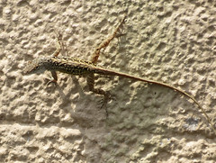 fence lizard on the exterior wall