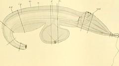 """Image from page 276 of """"Zeitschrift für wissenschaftliche Zoologie"""" (1912)"""
