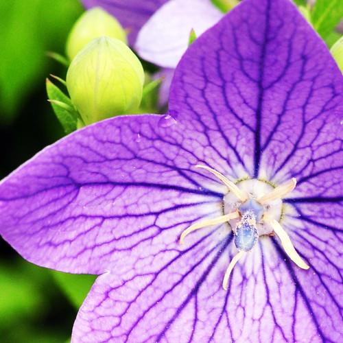 Ballonblume Chinesische Glockenblume Gartenblume Zierblume Heilpflanze Balkonblume Foto Brigitte Stolle