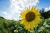 sunflower-2119