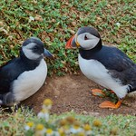 Puffin and Puffling