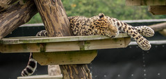 ocelot(0.0), wildlife(0.0), animal(1.0), big cats(1.0), leopard(1.0), zoo(1.0), mammal(1.0), jaguar(1.0), fauna(1.0),