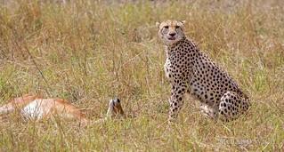 Masai Mara - Cheetah with prey