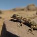 Phyllodactylus gerrhopygus (Leaf-toed Gecko) by hectorgutierrez