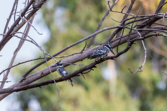 Pied kingfisher-2