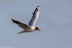 Black-headed gull in flight (Larus ridibundus)