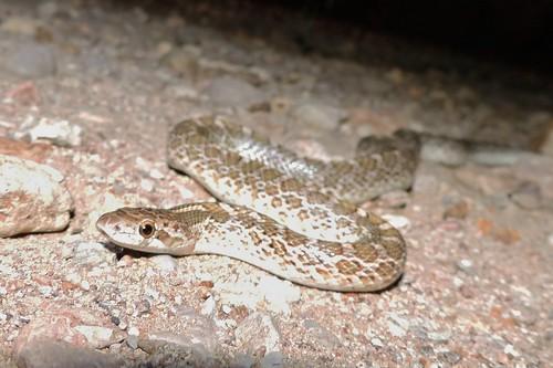 Desert Painted Glossy Snake (Arizona elegans philipi)