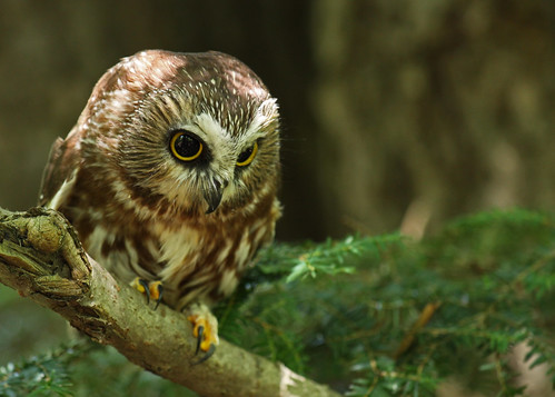 Northern Saw-whet owl...#7