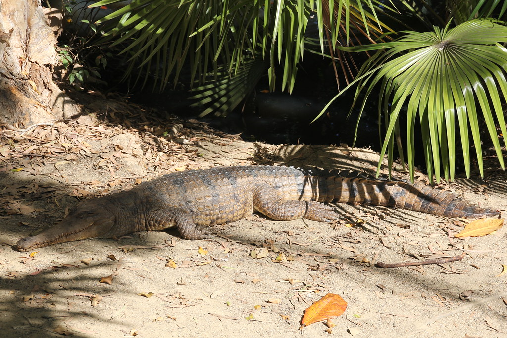 port douglas, port douglas wildlife habitat, breakfast with the birds, koala, saltwater crocodile