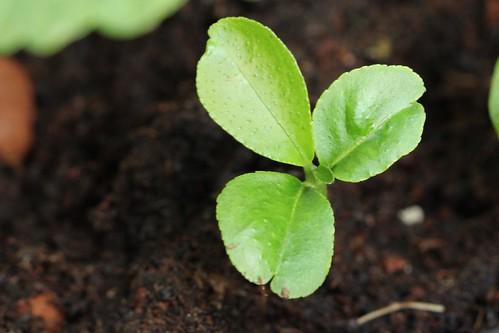 Lemon lime seedling - limoen citroen zaailing - kwekerij