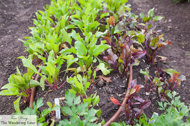 Beets growing on the farm