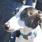Greyhound Adventures at Deer Island, Winthrop MA, Sept 14th 2014