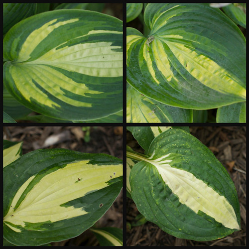 Hosta collage (June)