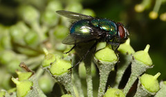 Fly on ivy flower