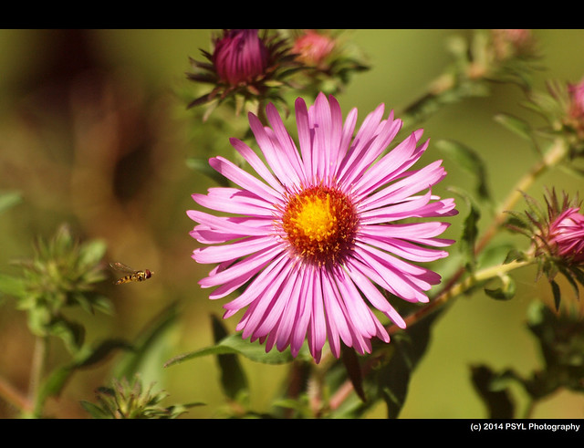 Syrphid fly flying towards New England Aster (Symphyotrichum novae-angliae)