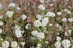 yarrow, shrub, iberis sempervirens, flower, candytuft, plant, breckland thyme, subshrub, herb, wildflower, flora,