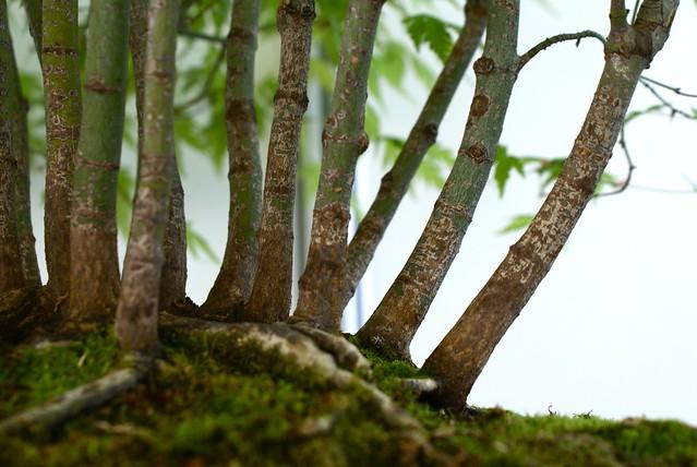 Exposition (temporaire) de bonsai au parc de la Tête d'or.