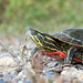 Painted Turtle by U.S. Fish and Wildlife Service - Midwest Region