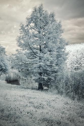 Tree-Infrared.jpg