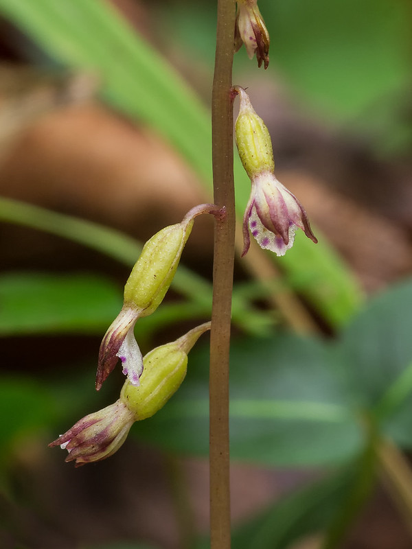Autumn Coralroot orchid