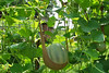 Organic Melons at Harbour House Hotel, Restaurant & Organic Farm, Saltspring Island, British Columbia