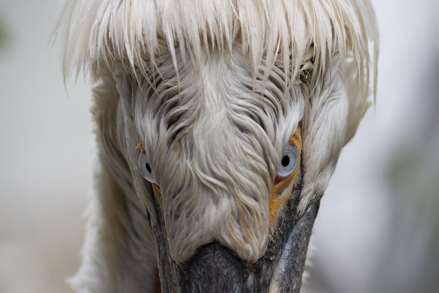 The Blue Eye'd Pelican