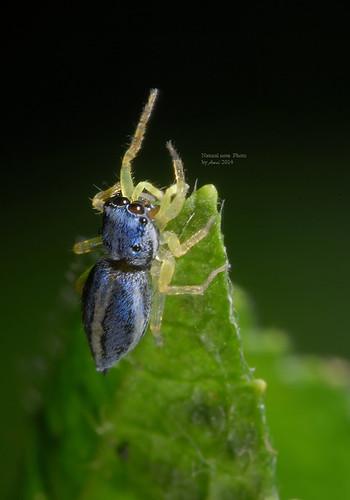 二叉黑條蠅虎 Phintella bifurcilinea