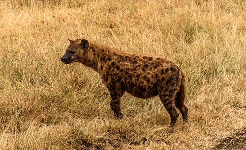 Hyena by Geoff Livingston