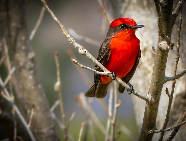 """The Vibrant Vermillion Flycatcher"" (male)"