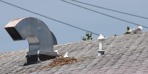 birdnest glaucouswingedgull olympicgull larusglaucescens larusglaucescensxoccidentalis roofnesting westernglaucouswingedgulls